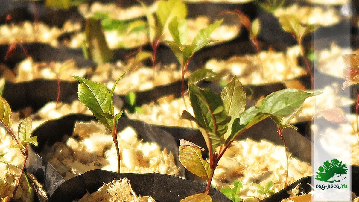 сеянцы черемухи обыкновенной из семян