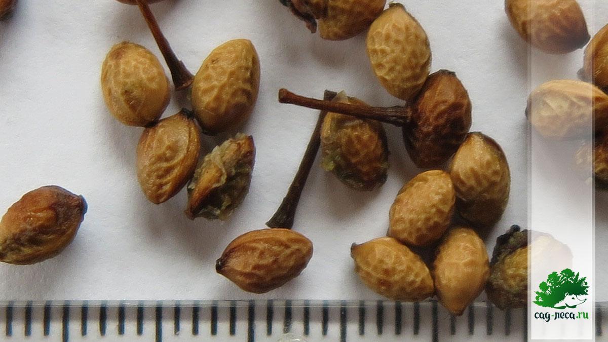 семена черемухи маака крупным планом