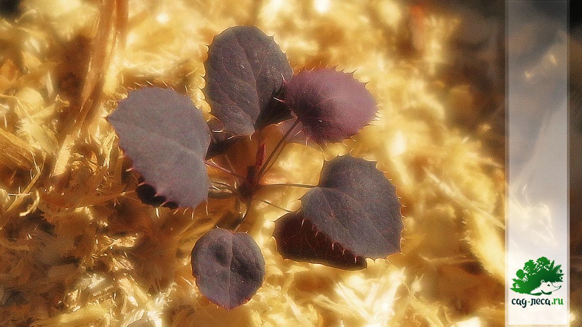 барбарис оттавский из семян