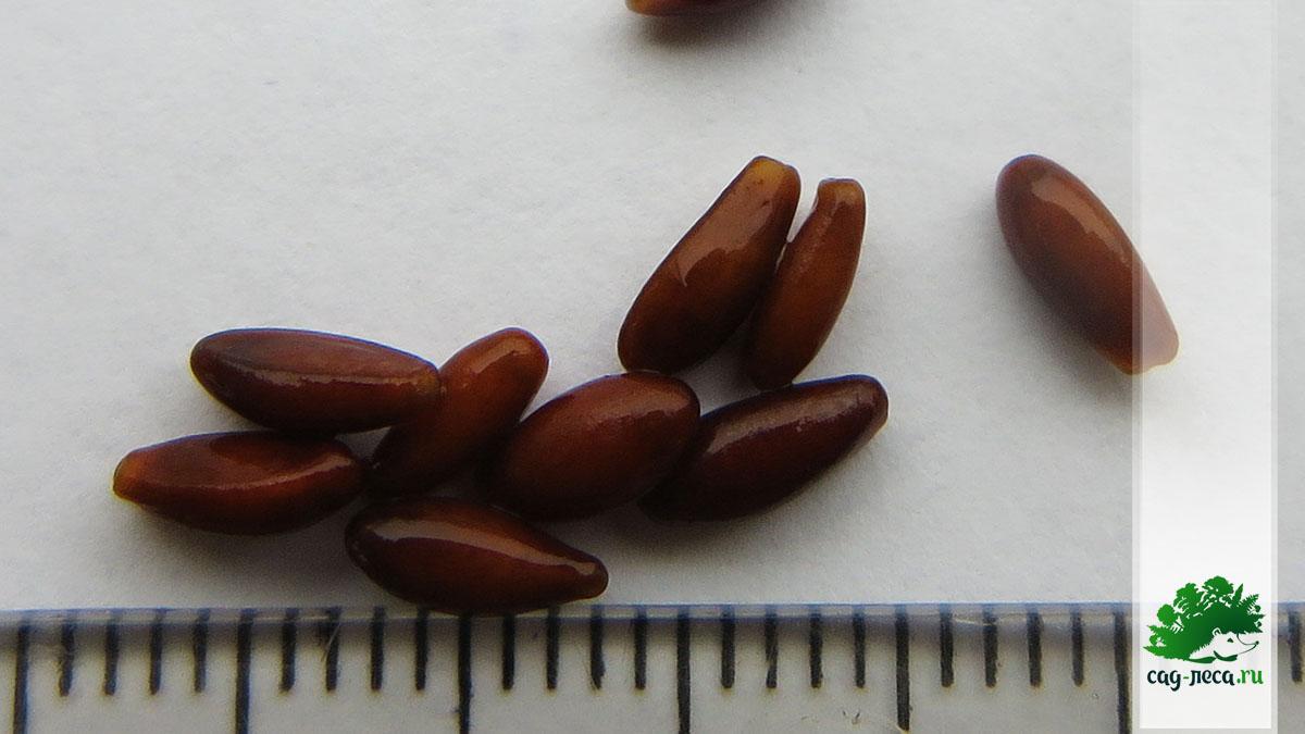 семена барбариса канадского для посева