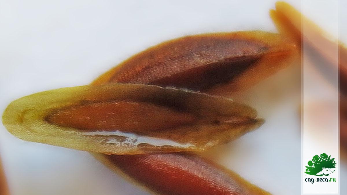 фото семян сирени вольфа