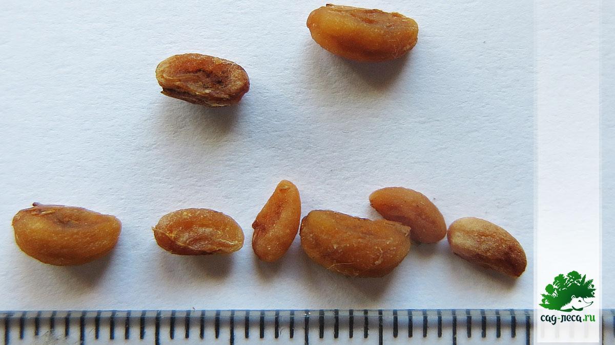 семена для посева боярышника перистонадрезанного