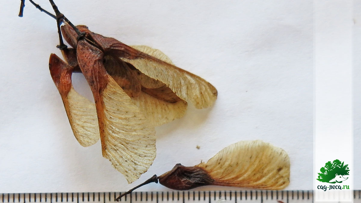 семена клена гиннала для посева