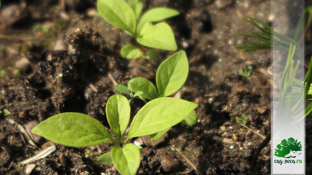 Всходы сирени амурской на грядке из семян