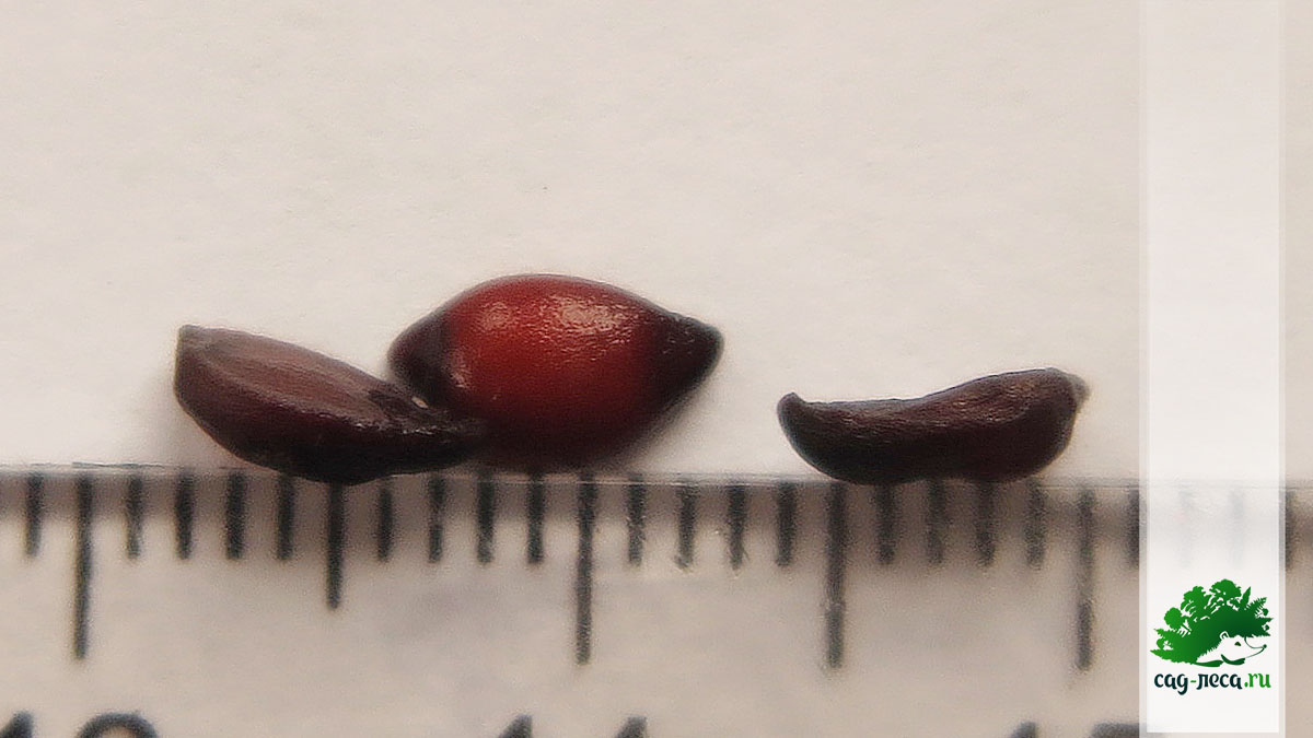 фото семян Sorbus aria