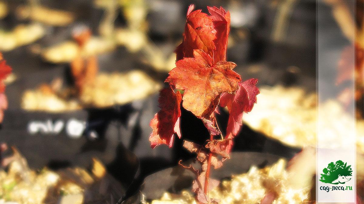 сеянец клена красного из семян в первую осень