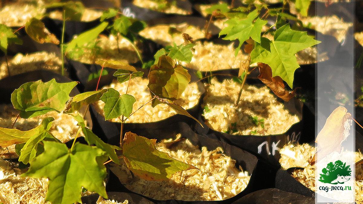 сеянцы клена остролистного из семян