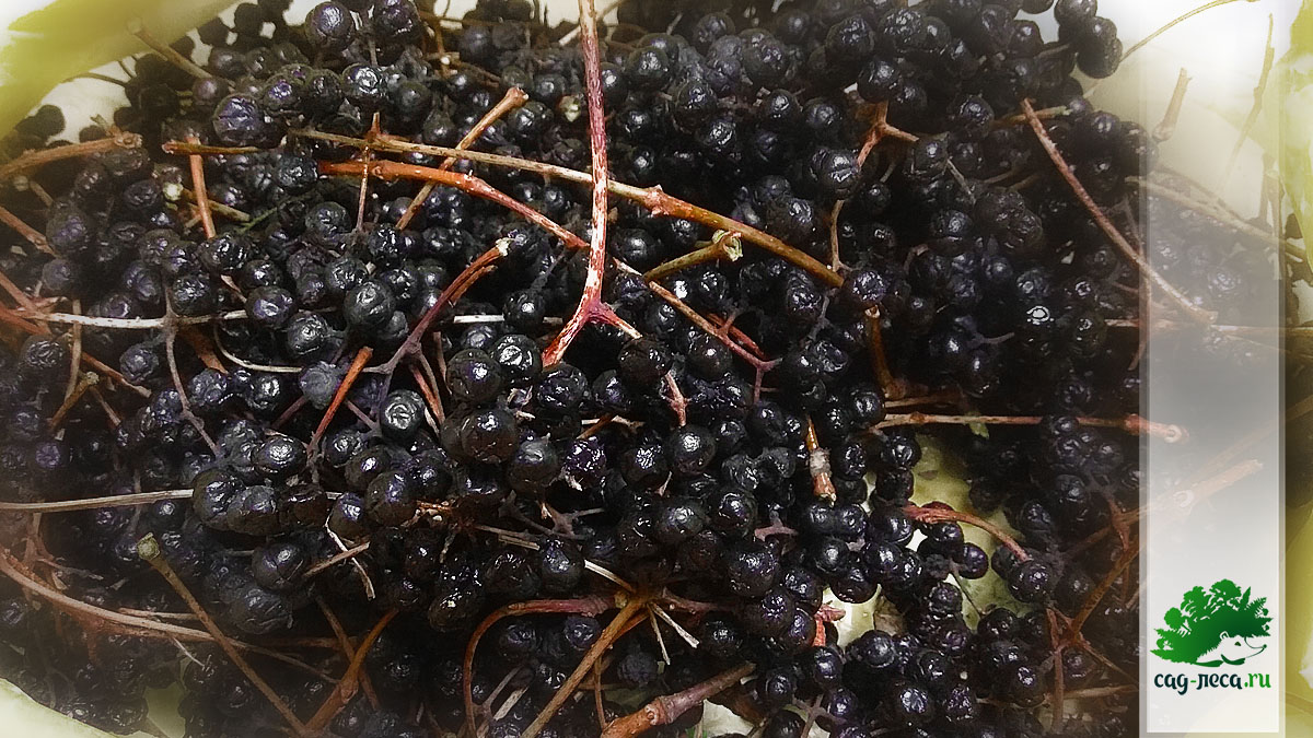 Собрала плоды бархата амурского ради семян на посадку