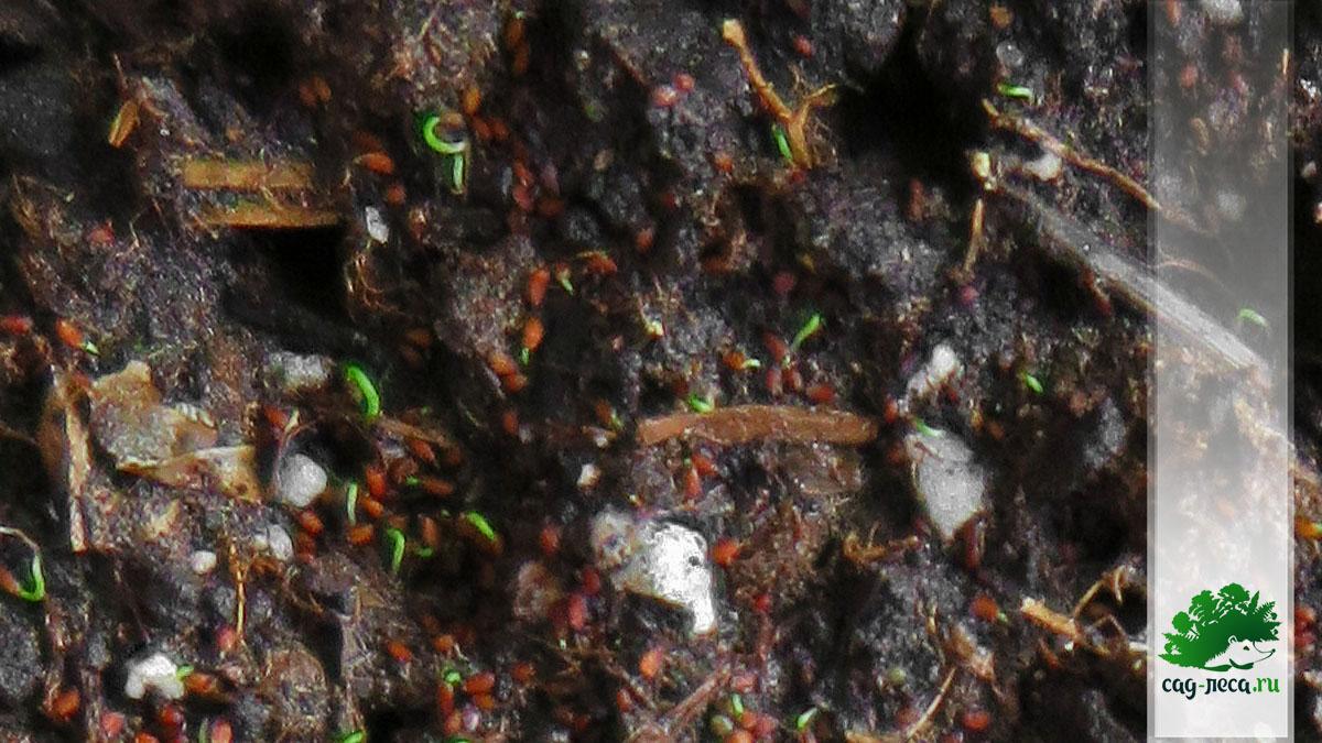 семена черники прорастают