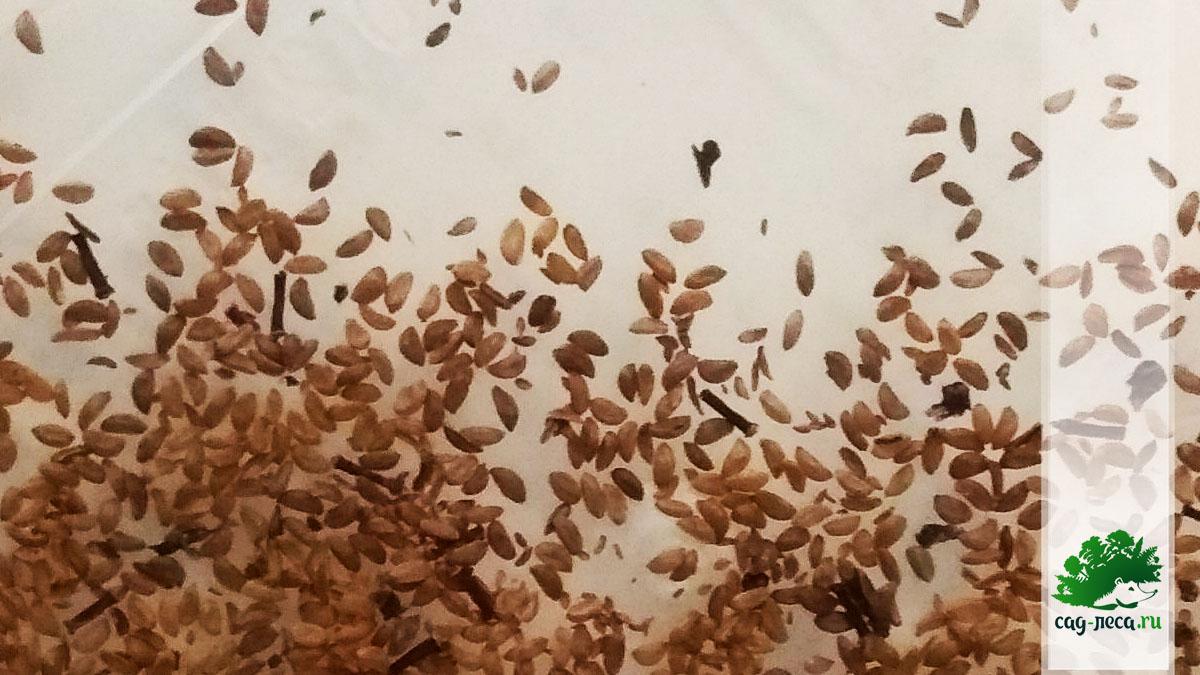 семена красники, клоповки