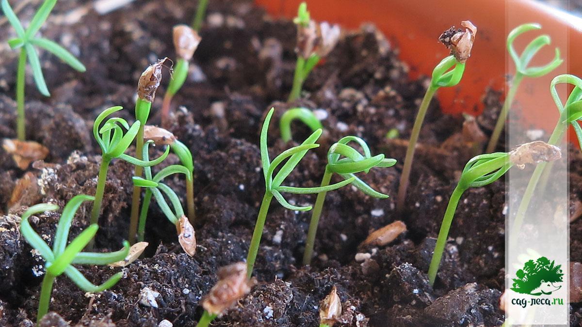 появление всходов пихты шершавоплодной из семян