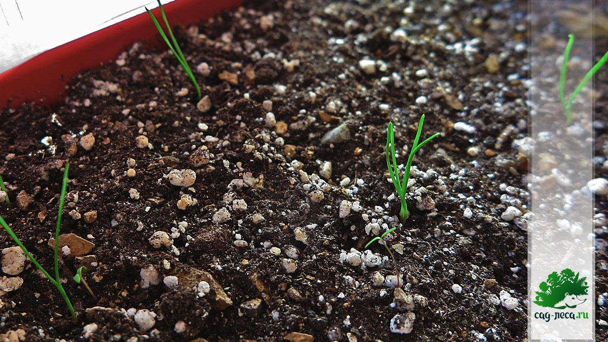 хвойник рослый всходит из семян