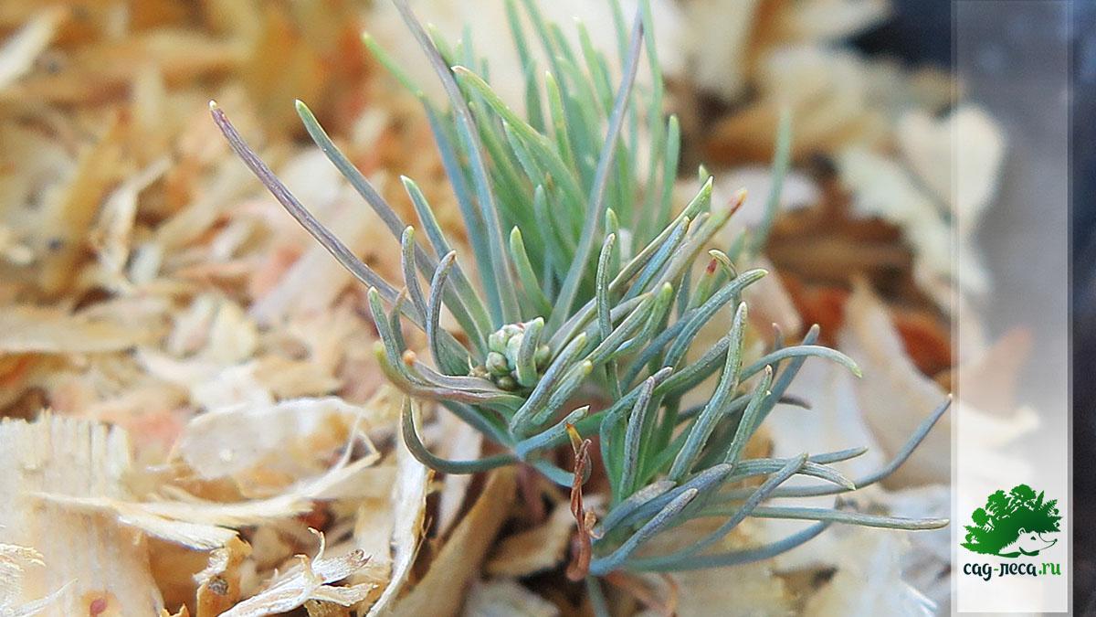 сосна горная карликовая из семян после первой зимы