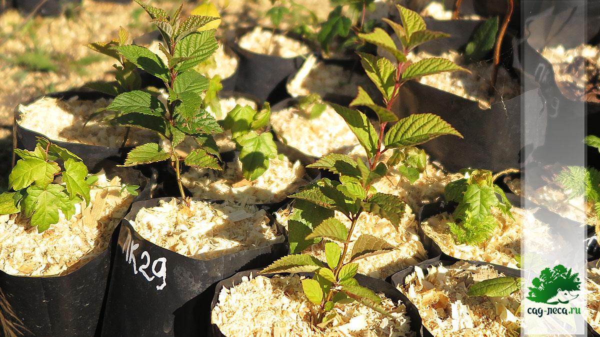 Однолетние сеянцы вишни войлочной из семян