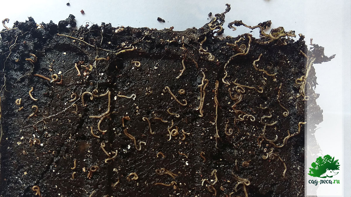 Контейнер с прорастающими семенами волчника