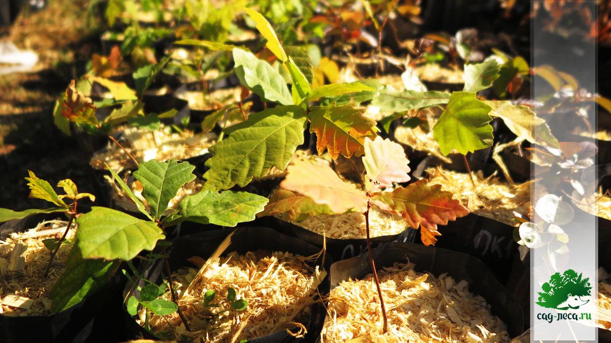 Осенняя окраска однолетних сеянцев дуба монгольского из семян