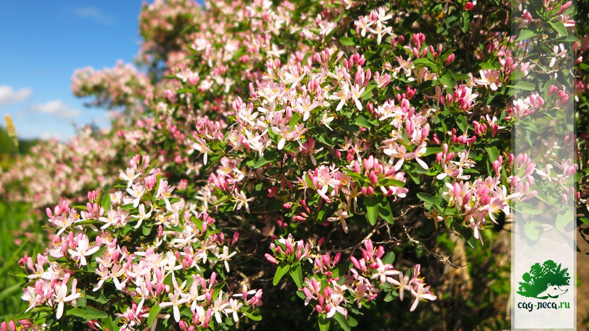 цветы жимолости татарской