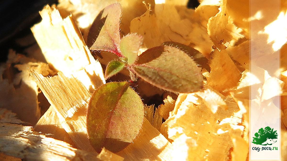 ПК346 Всходы жимолости Морроу из семян