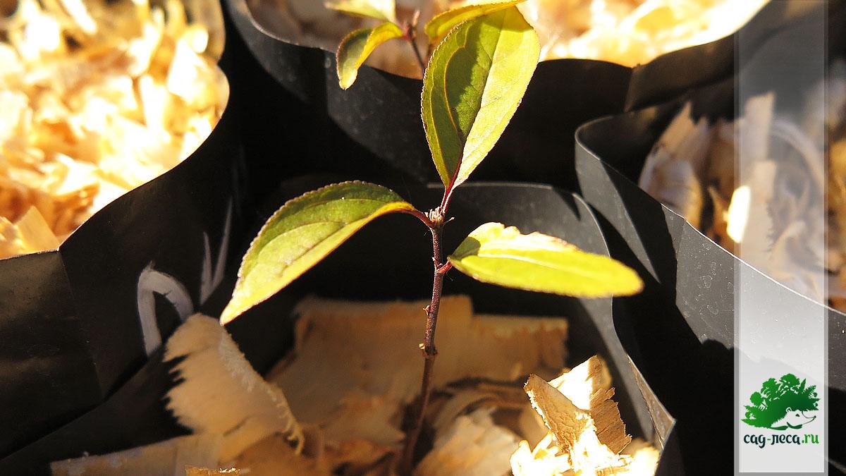 сеянец жостера слабительного выращивание из семян
