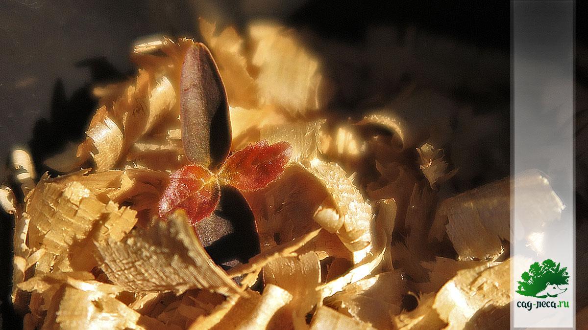 всход калины буреинской из семян