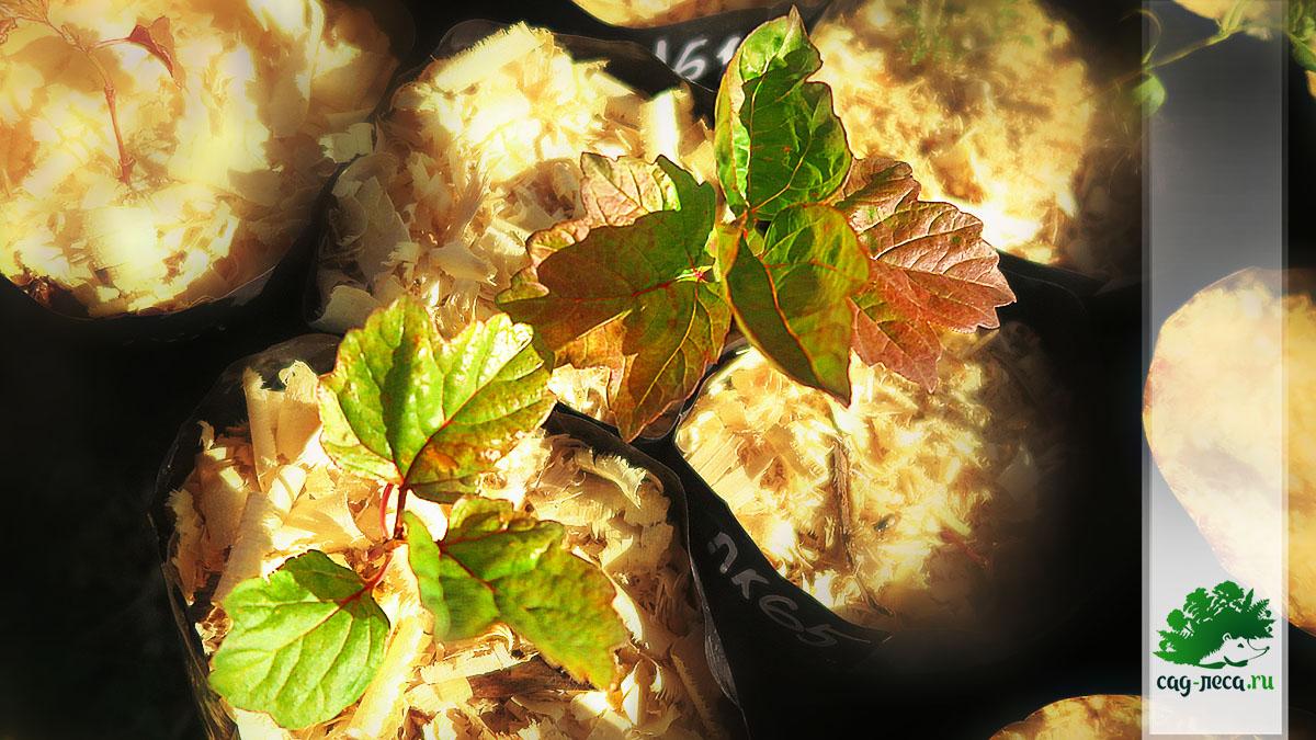однолетние сеянцы калины Саржента из семян