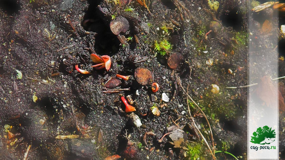 ПК332 Осенние всходы калины Саржента перенесли зиму и продолжили рост весной