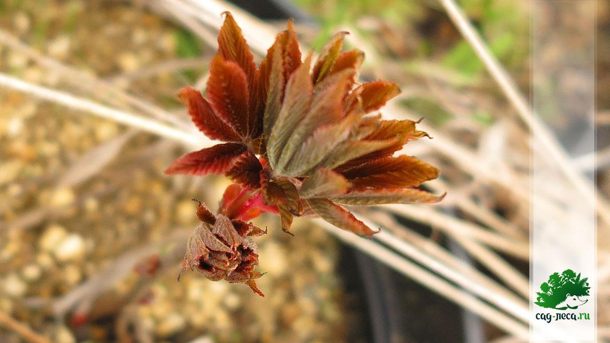 ПК95 Распускание листьев каштана конского голого на вторую весну
