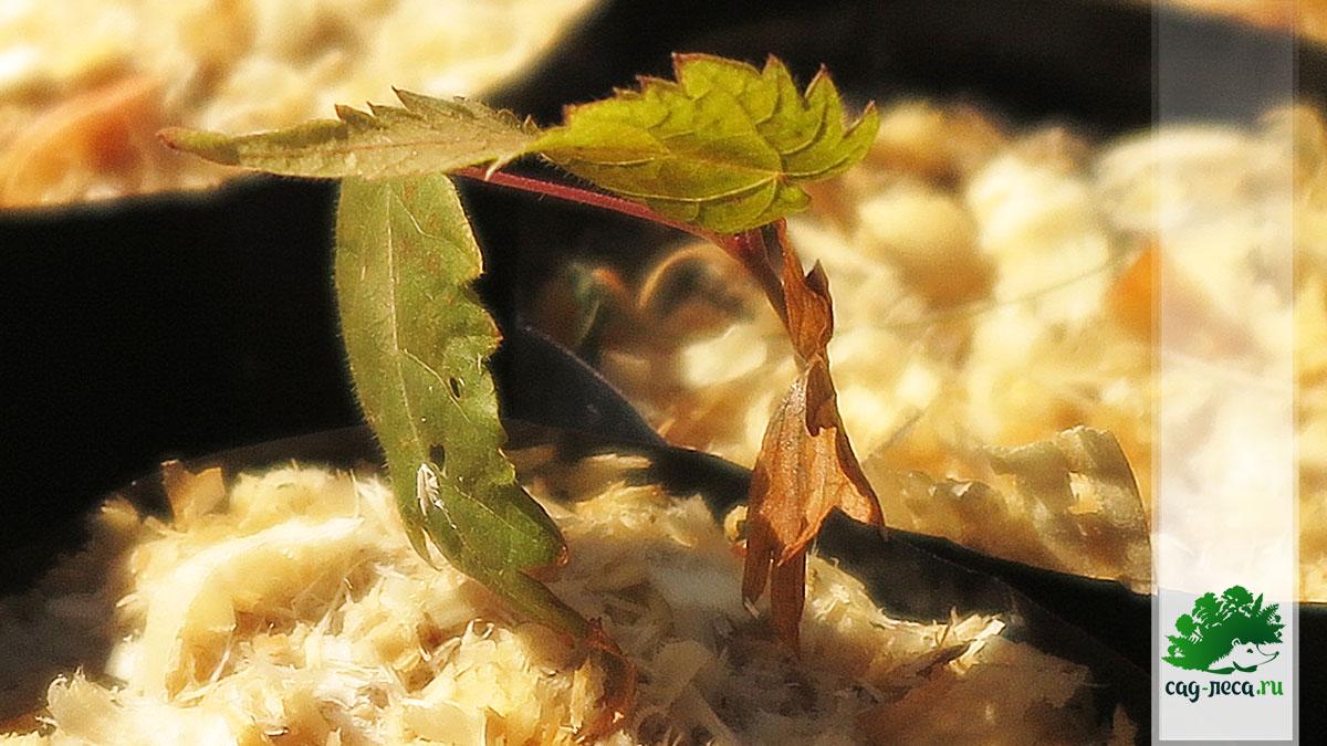 Сеянец липы амурской из семян
