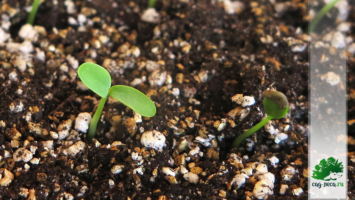 Всходы робинии ложноакациевой Robinia pseudoacacia из семян