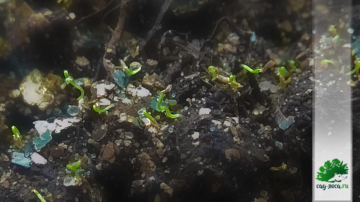 рододендрон канадский всходит из семян
