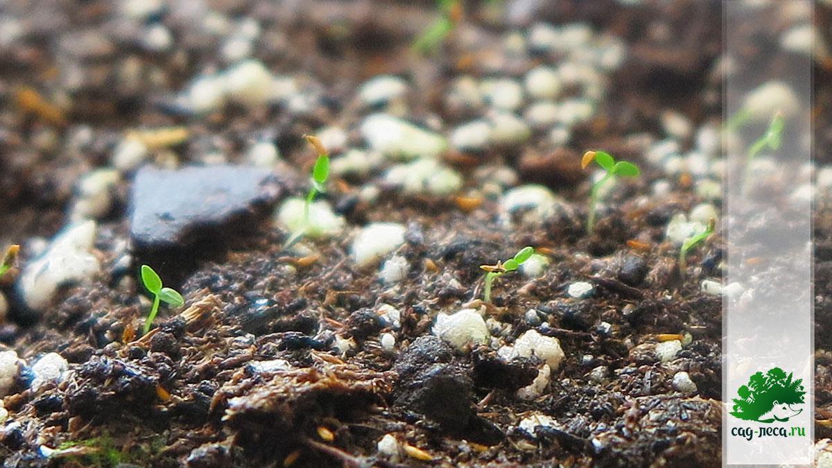 ПК657 Всходы рододендрона лапландского из семян