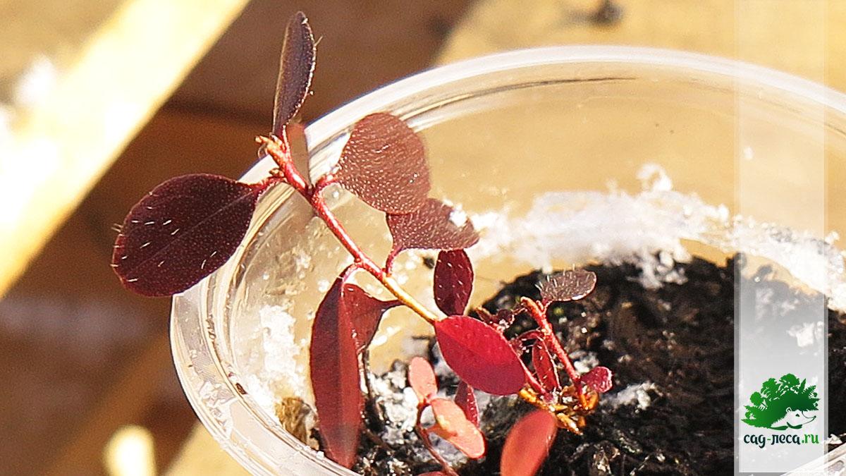 сеянцы рододендрона Ледеьура осенью первого года