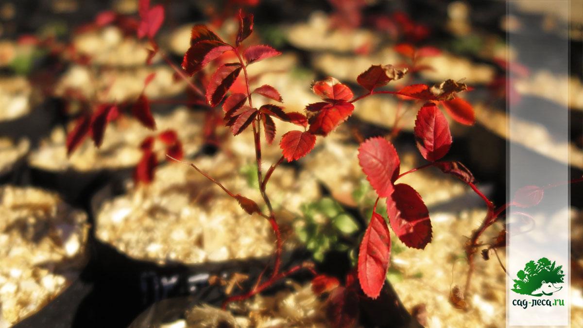 Сеянцы шиповника даурского осенью первого года
