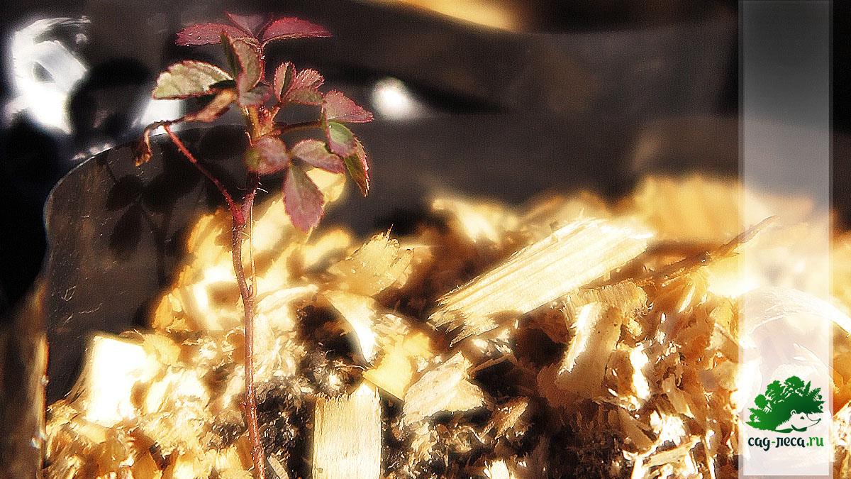 ПК281 Сеянец розы иглистой из семян