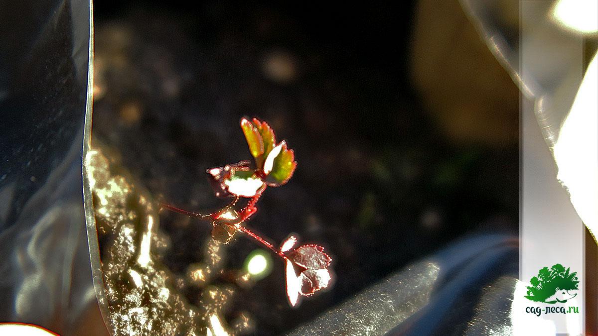 ПК325 Всходы розы морщинистой
