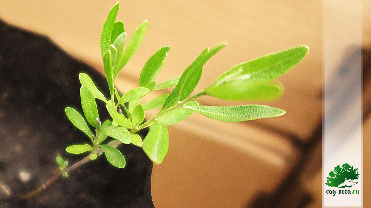 Шефердия серебристая из семян, фото
