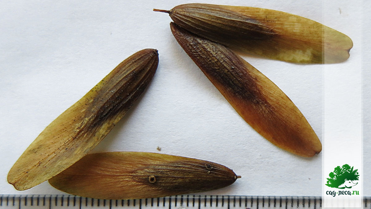 Семена ясеня маньчжурского для выращивания
