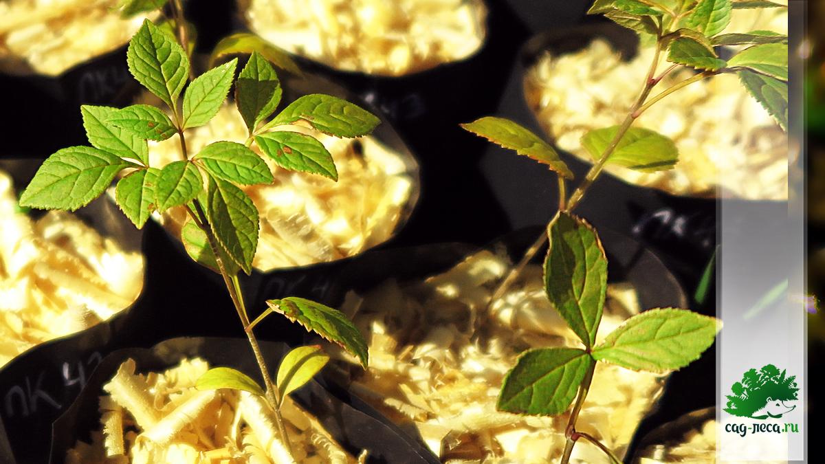 ПК43 Сеянцы ясеня маньчжурского из семян