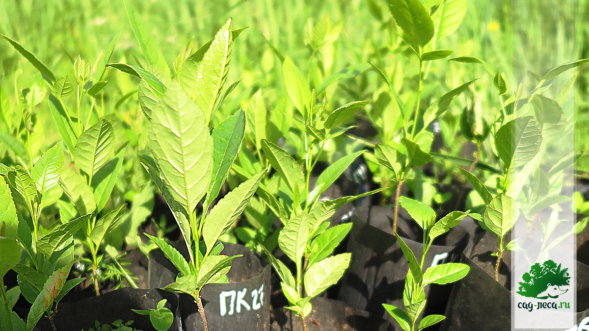 Саженцы ясеня маньчжурского, выращенные из семян, в июне второго лета