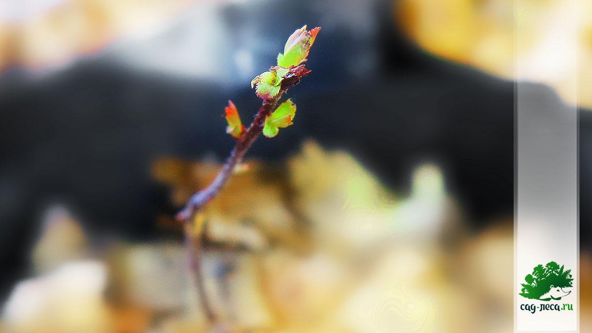 сеянцы-однолетки боярышника Максимовича из семян после зимы