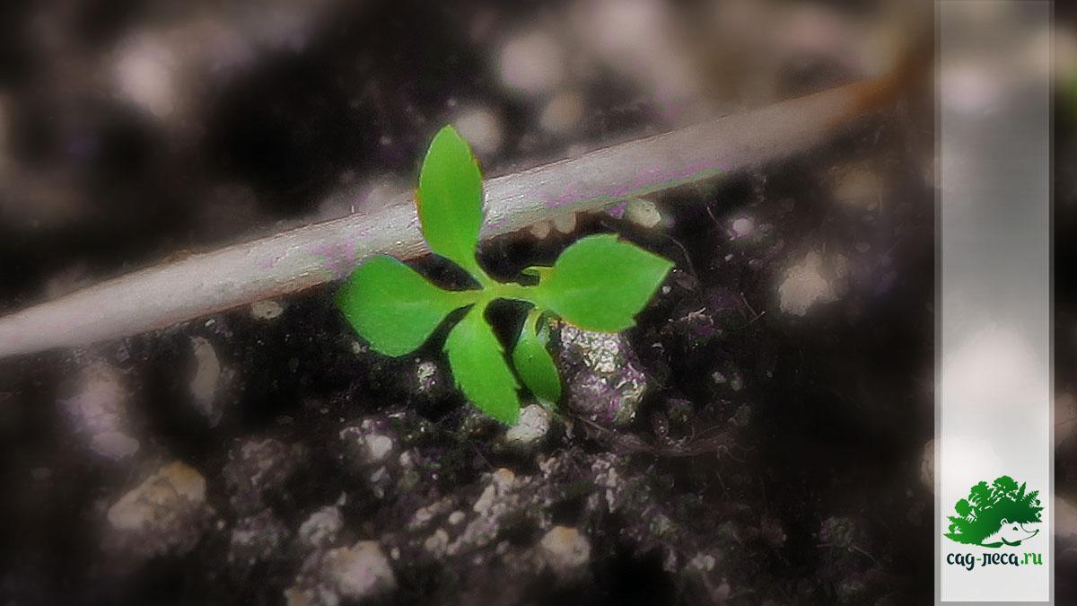 Дейция мелколистная подрастает из семян