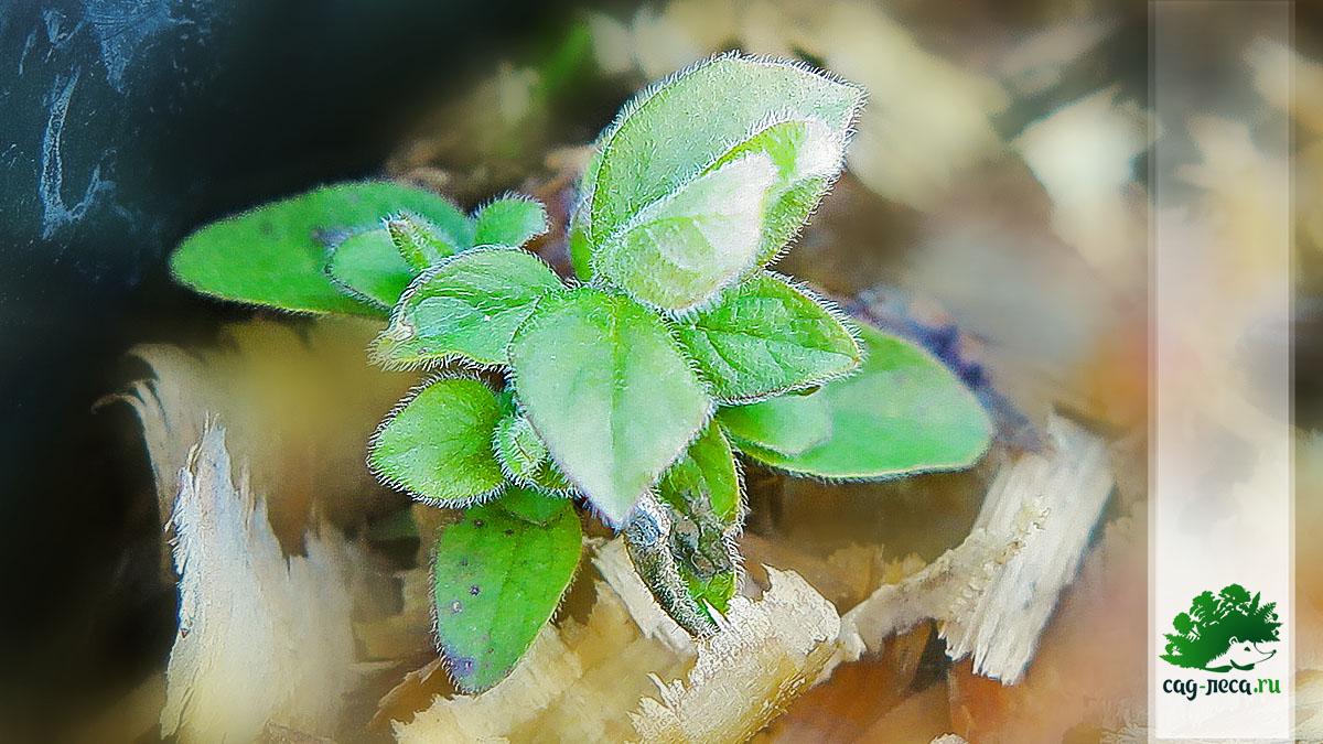 ПК335 Молодые пушистые побеги жимолости Рупрехта весной второго года