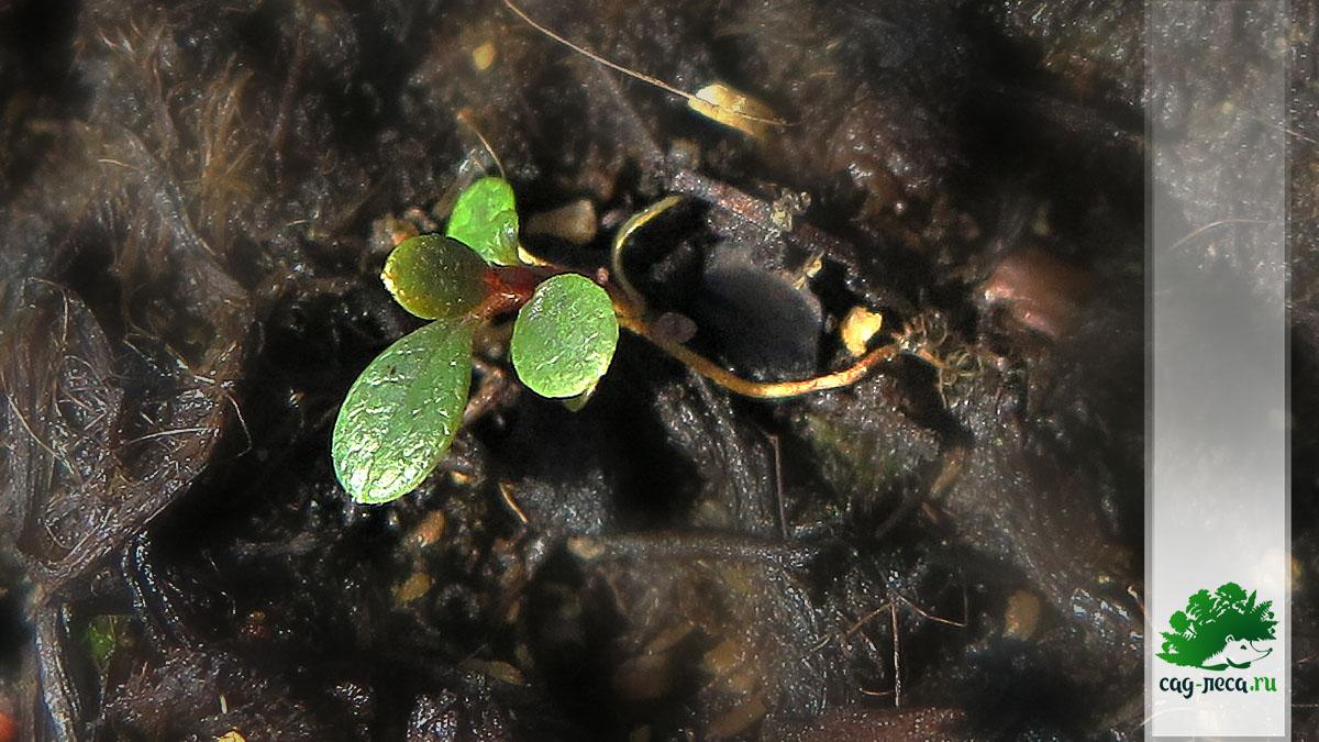 рододендрон подъельниковый фото всходов из семян
