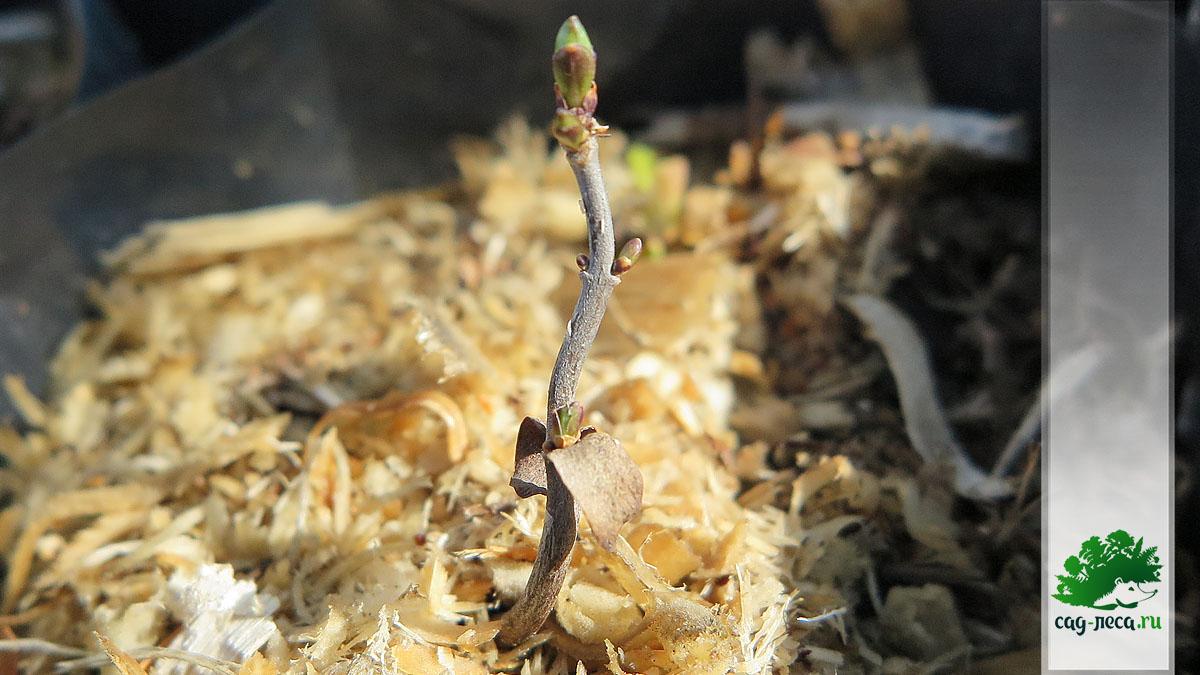 ПК33 Сирень амурская просыпается после второй зимы