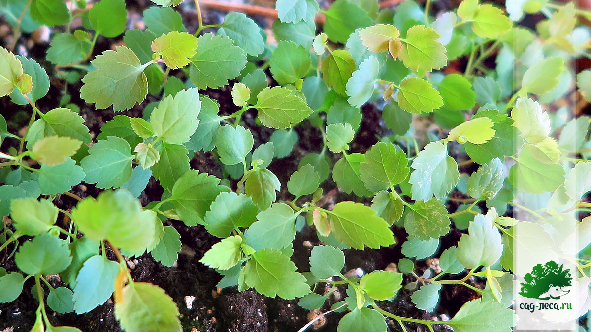 молодые сеянцы спиреи уссурийской из семян