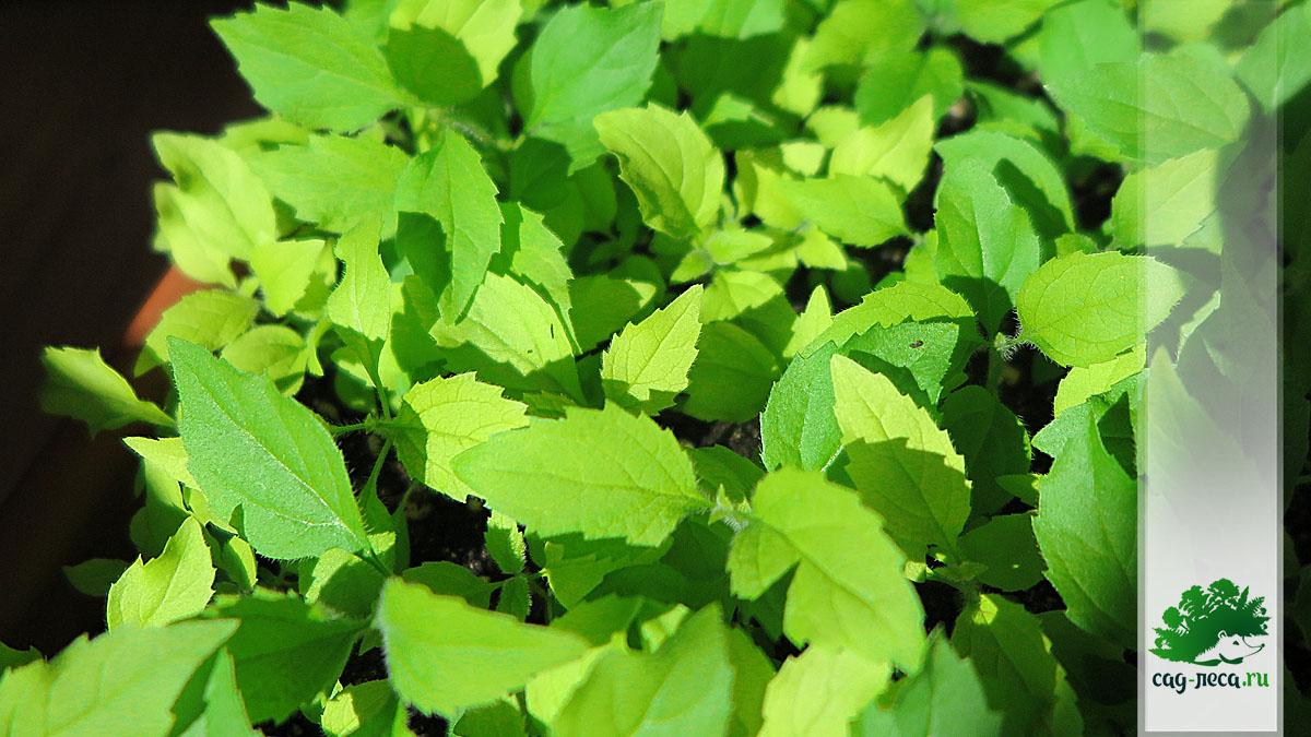 Сеянцы чубушника венечного Aurea из семян