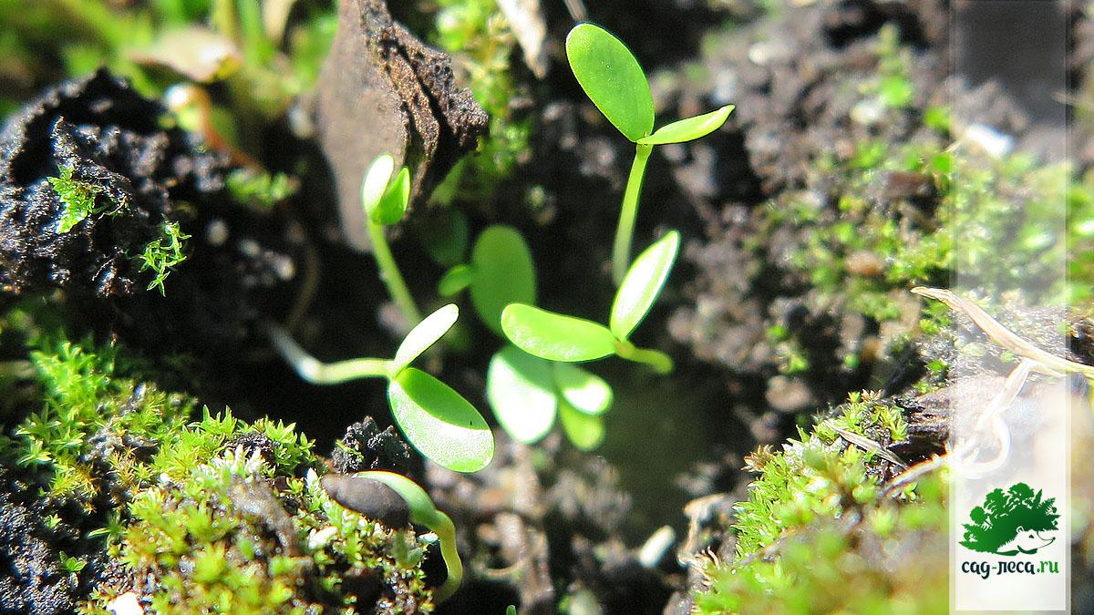 ПК377 Всходы рябины бузинолистной из семян