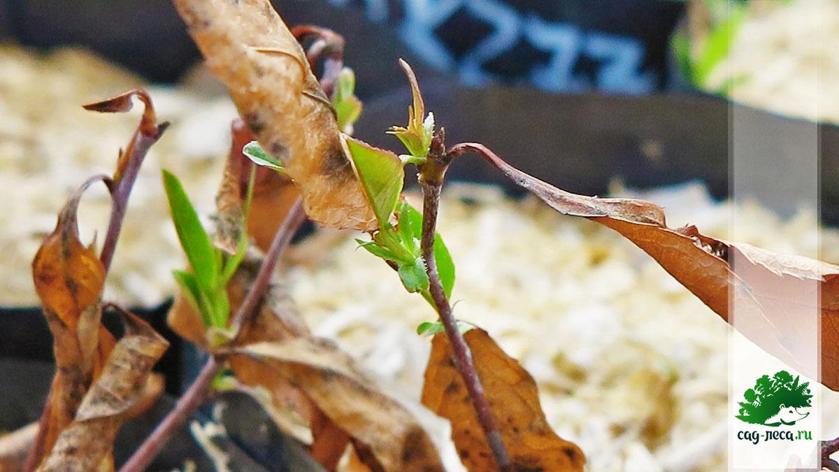 Черемуха виргинская семенами после первой зимы