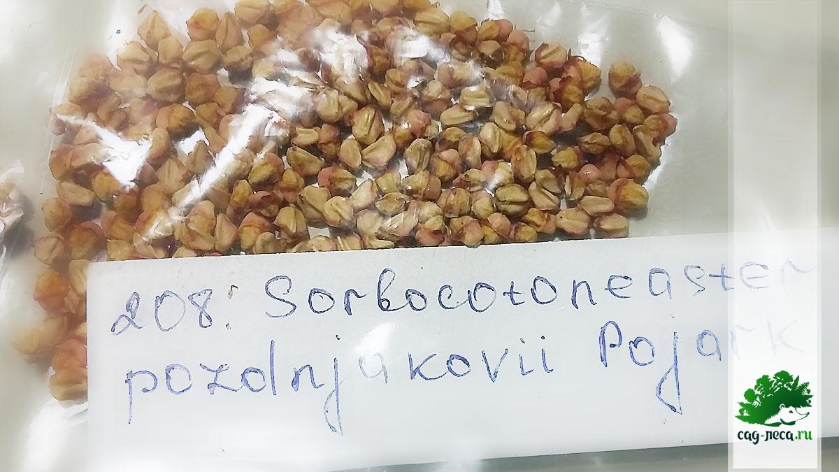 ПК122 Семена рябинокизильника