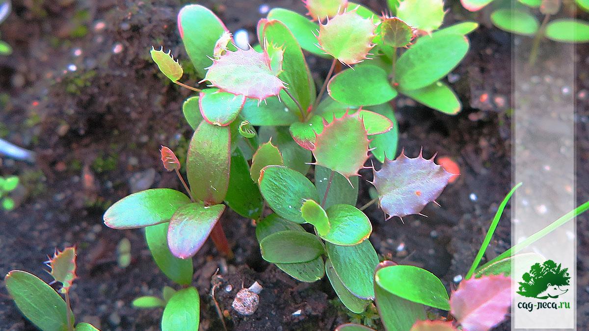 ПК162 Всходы барбариса сибирского из семян